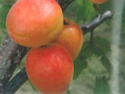 Albicocco Primaris - Plantgest.com