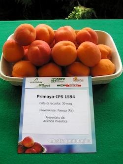Albicocco Primaya - Plantgest.com
