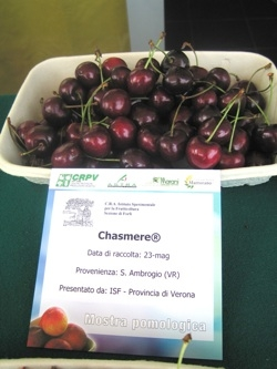 Ciliegio dolce Cashmere - Plantgest.com