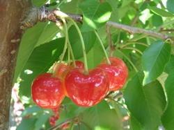 Ciliegio dolce Cambrina - Plantgest.com