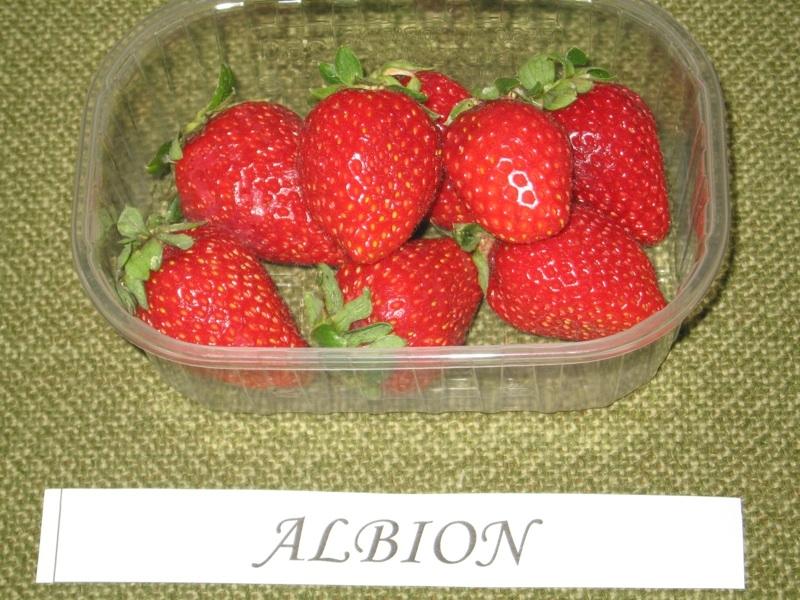 Fragola Albion - Plantgest.com
