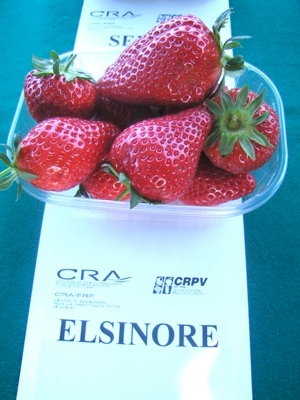 Fragola Elsinore - Plantgest.com