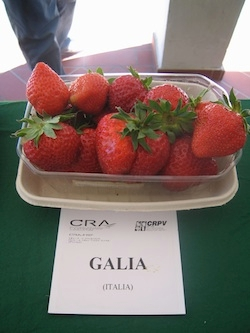 Fragola Galia - Plantgest.com