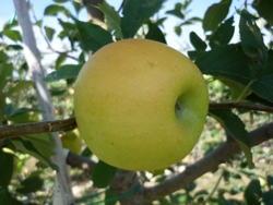 Melo Opal - Plantgest.com
