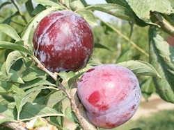 Susino cino-giapponese Gaia - Plantgest.com
