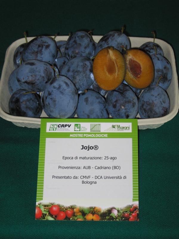 Susino europeo Jojo - Plantgest.com