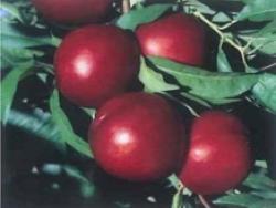 Nettarina a polpa bianca Ruby bel - Plantgest.com