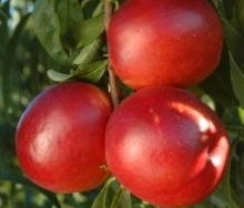 Nettarina a polpa gialla Honey Cascade - Plantgest.com