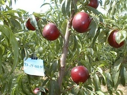 Nettarina a polpa gialla Zincal® 20 - Plantgest.com
