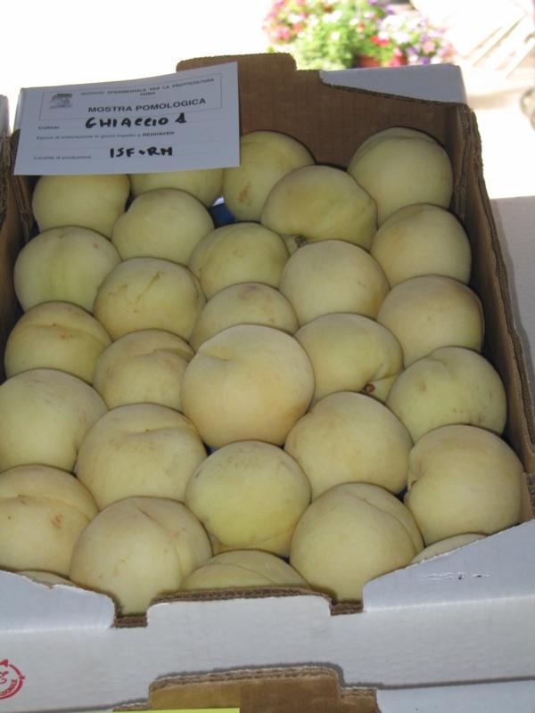 Pesco a polpa bianca Ghiaccio 1 - Plantgest.com