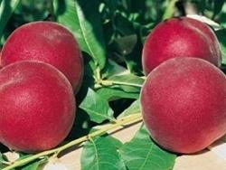Pesco a polpa gialla Valley Sweet - Plantgest.com