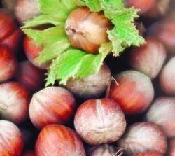 Nocciolo Tonda di Giffoni - Plantgest.com