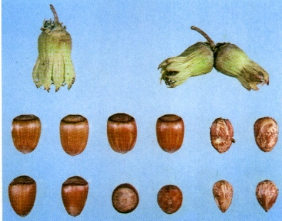 Nocciolo Bergeri - Plantgest.com