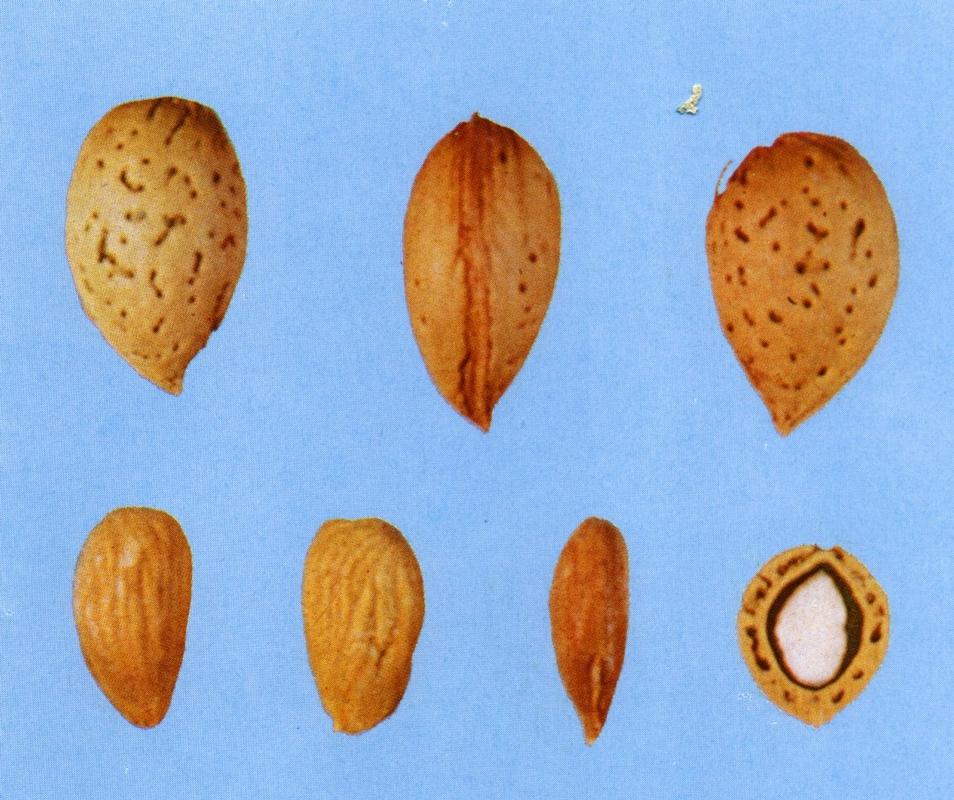 Mandorlo Filippo ceo - Plantgest.com