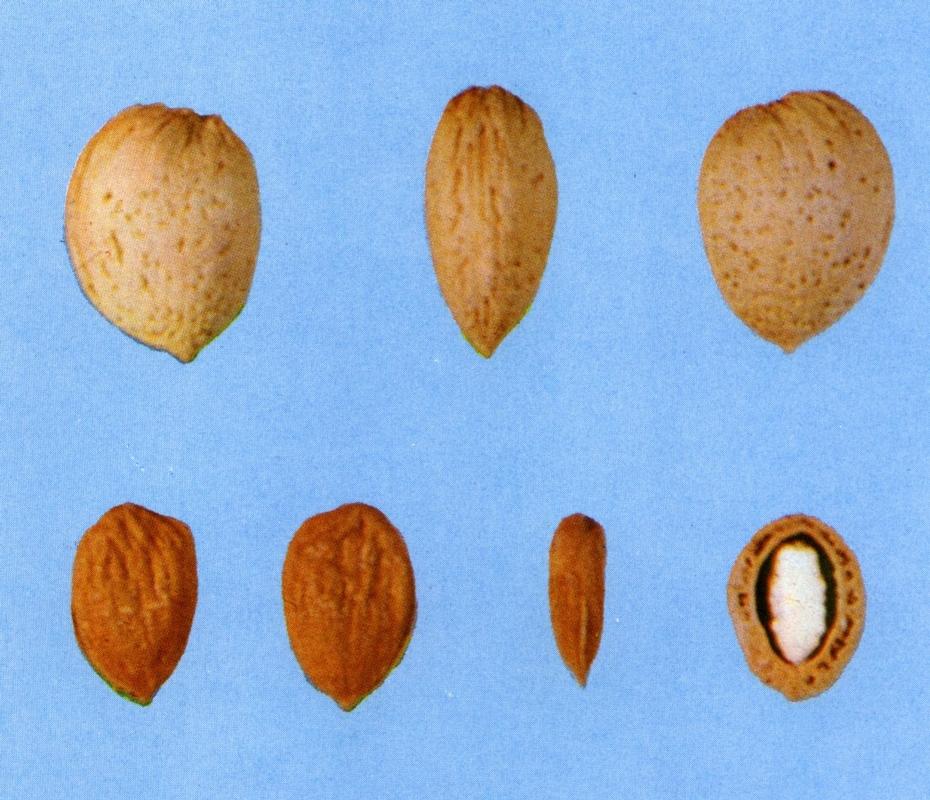 Mandorlo Genco - Plantgest.com