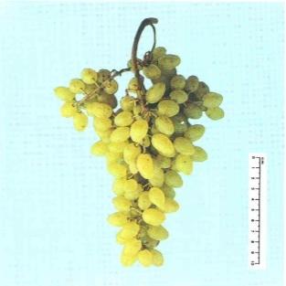 Centennial seedless vite per uva da tavola plantgest - Uva da tavola precoce ...