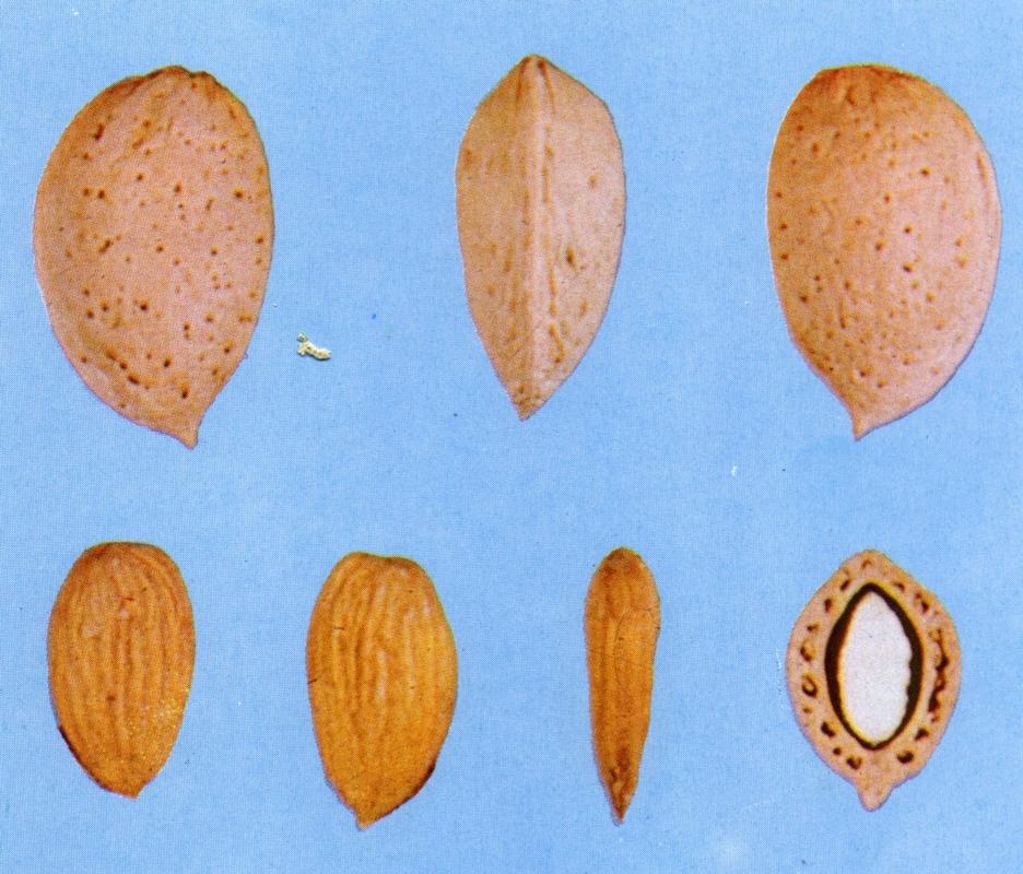 Mandorlo Ferraduel - Plantgest.com