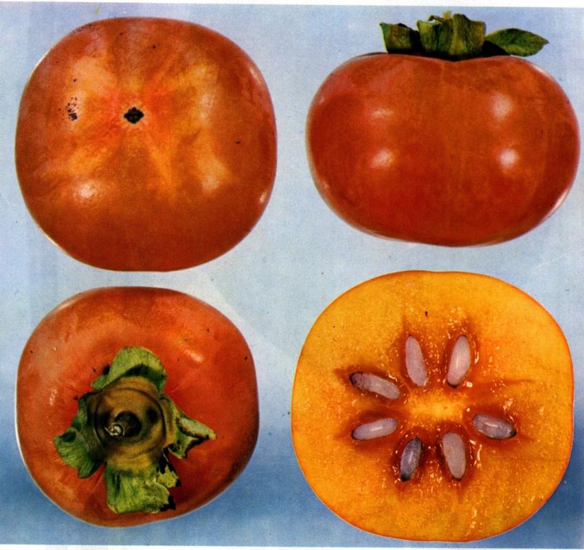 Loti o kaki Jiro - Plantgest.com