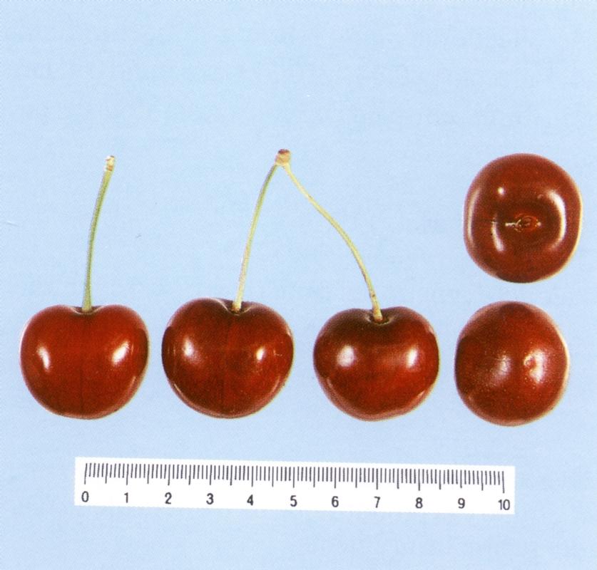 Ciliegio dolce Sunburst - Plantgest.com