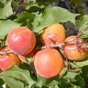 Albicocco Mogador - Plantgest.com