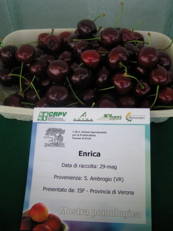 Ciliegio dolce Enrica - Plantgest.com