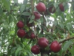 Nettarina a polpa gialla Rebus 028 - Plantgest.com