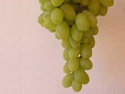 Victoria vite per uva da tavola plantgest - Uva da tavola precoce ...