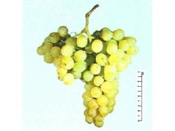 Matilde vite per uva da tavola plantgest - Uva da tavola precoce ...