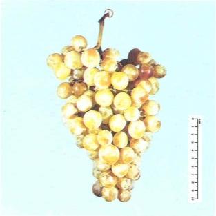 Primus vite per uva da tavola plantgest - Uva da tavola precoce ...