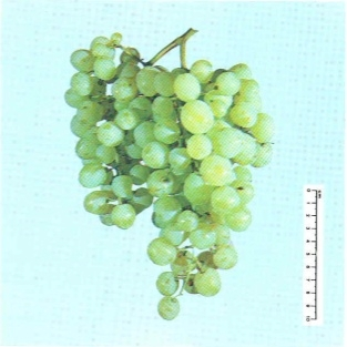 Vite per uva da tavola Baresana - Plantgest.com