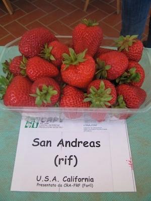 Fragola San Andreas - Plantgest.com