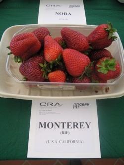 Fragola Monterey - Plantgest.com