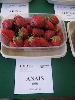 Fragola Anais - Plantgest.com