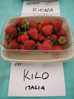 Fragola Kilo - Plantgest.com