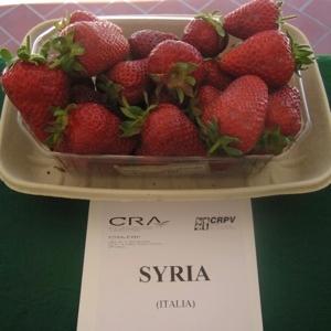Fragola Syria - Plantgest.com
