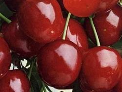 Ciliegio dolce Durone Nero II - Plantgest.com