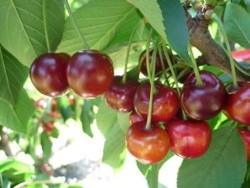 Ciliegio dolce Frisco - Plantgest.com