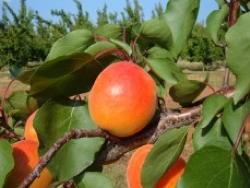 Albicocco Bergeval - Plantgest.com
