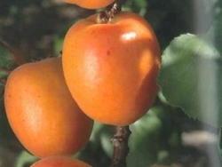 Albicocco Primius - Plantgest.com