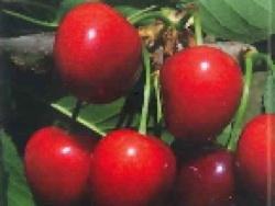 Ciliegio dolce SPC136 - Plantgest.com