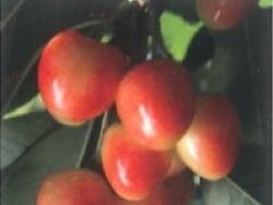 Ciliegio dolce SPC207 - Plantgest.com