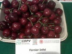 Ciliegio dolce Fernier - Plantgest.com