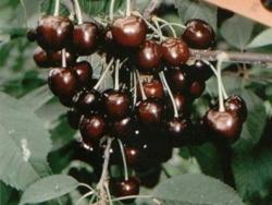Ciliegio dolce Karina - Plantgest.com