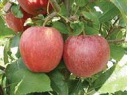 Melo Royal Beaut - Plantgest.com