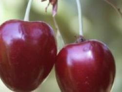 Ciliegio dolce Corniola - Plantgest.com