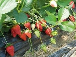 Fragola Sabrina - Plantgest.com