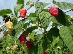Lampone rosso Enrosadira - Plantgest.com