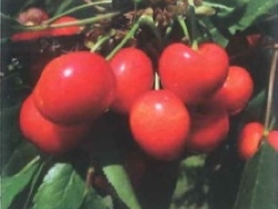 Ciliegio dolce Rosie Rainier - Plantgest.com
