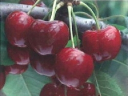 Ciliegio dolce Royal Edie - Plantgest.com