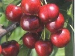 Ciliegio dolce Royal Hazel - Plantgest.com